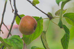 Wild red apples on a branch with green leaves. Closeup Royalty Free Stock Photo