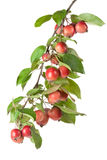 Wild red apples on a branch Stock Images
