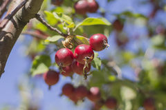 Wild Red apples. Red apples on a tree branch stock images