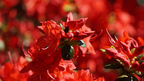 Wild Red Azaleas Stock Photography