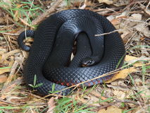 Red-bellied black snake. A Red-bellied Black Snake - Pseudechis porphyriacus - basking in the sun on dry leaves. Dangerous Australian wildlife Royalty Free Stock Image