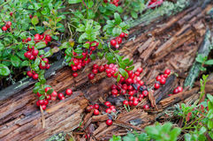 Wild red berries Royalty Free Stock Image