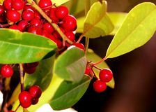 Wild red berries Royalty Free Stock Images