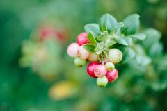 Wild red berries cowberry, foxberry, lingonberry with leaves closeup. Raw, organic materials fro skincare royalty free stock photo