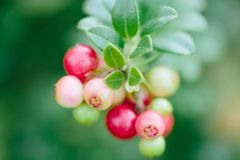 Wild red berries cowberry, foxberry, lingonberry with leaves closeup. Raw, organic materials fro skincare. Wild ripe red berries cowberry, foxberry, lingonberry stock photo