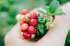 Wild red berries cowberry, foxberry, lingonberry with leaves. Raw, organic materials fro skincare royalty free stock photos