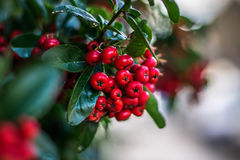 Wild Red Berries. Garden, Green hedge Royalty Free Stock Photography