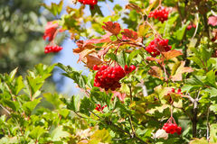 Wild Red Berries Royalty Free Stock Photography
