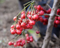 Wild Red Berry Fruits Royalty Free Stock Photography