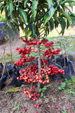 Wild Red Berry Fruits Royalty Free Stock Photos