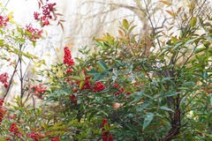 Wild red berry Stock Photography