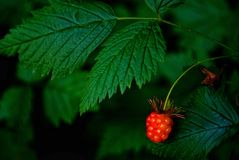 Wild red berry with green leaves as background Royalty Free Stock Image