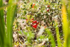 Wild red berry on the nature.  Stock Photos