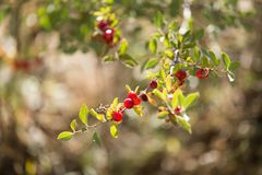 Wild red berry on the nature. In a park in the nature Royalty Free Stock Image