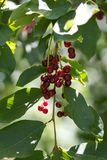 Wild red berry on the nature. In the park in nature Stock Image