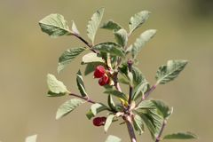Wild red berry on the nature. In the park in nature Royalty Free Stock Photo