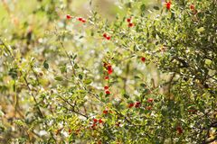 Wild red berry on the nature. In the park in nature Stock Photos