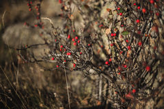Wild red berry. In the rays of the sun Stock Photos