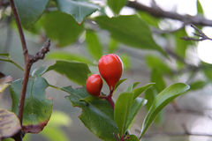 Wild red berry Royalty Free Stock Images