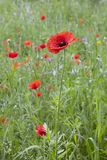 Wild Red Blooming Poppy Royalty Free Stock Photo