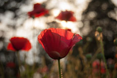 Wild red bright poppy flower Royalty Free Stock Photo