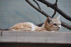 Wild Arabian Sand cat stock photo