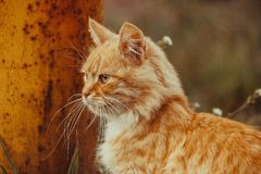 Wild red cat find something to eat. Very beautiful and fluffy red cat Stock Photo