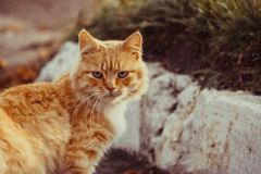 Wild red cat find something to eat. Very beautiful and fluffy red cat Royalty Free Stock Image