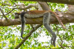Wild Red Colobus monkey. Wild Red Colobus monkey sleeping on a tree branch in tropical forest on Zanzibar. Lazy concept Royalty Free Stock Photo