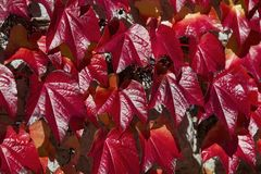 Red coloded wild wine in autumn Royalty Free Stock Image