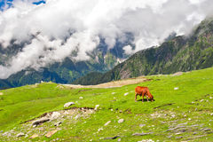 Wild red cow in Himalaya mountains. Wild red cow on meadow in Himalaya mountains Royalty Free Stock Photo