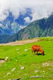 Wild red cow in Himalaya mountains Royalty Free Stock Photos