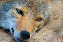 Wild Red Coyote Stock Image