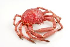 Wild Red Crab Royalty Free Stock Photography