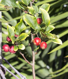 Wild red Crabapple fruit in winter. Stock Photo