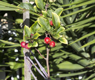 Wild red Crabapple fruit in winter. Royalty Free Stock Images