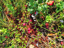 Wild red cranberries on a bog Stock Images