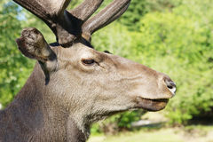 Wild red deer against green foliage Stock Photos