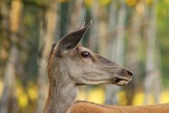 Wild red deer doe portrait Royalty Free Stock Photo