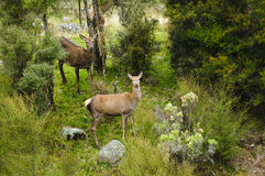 Wild red deer in New Zealand Stock Photography