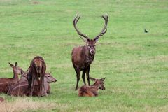 Red deer stag family group in Bushy Park. Red deer stag family group Richmond London where 400+ deer roam freely in this national British park. Amazing day stock images
