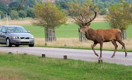 Wild Red deer stag crossing road by car Stock Photos