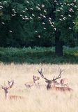 Wild Red deer stag in Bushy Park Stock Photography