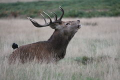 Wild Red deer stag in Bushy Park Stock Photo