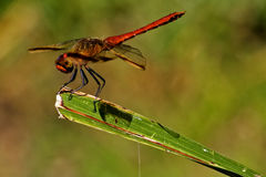 Red dragonfly on a piece of leaf Stock Photos
