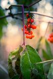 Wild Red Elderberries Stock Photography