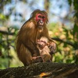 Wild red-faced macaque monkey with a baby Royalty Free Stock Photo