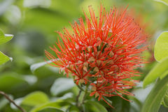 Wild red flower. Stock Photos