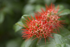 Wild red flower close up. Stock Image