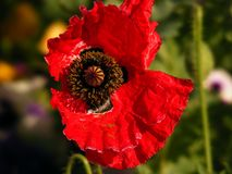 Wild red flower in spring. With a blurred natural backround and some sunlight royalty free stock photography